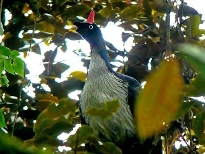Horned Guan Birds Photos 4
