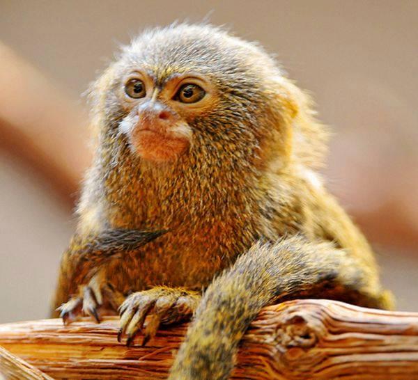 Pygmy Marmoset - Dwarf Monkey
