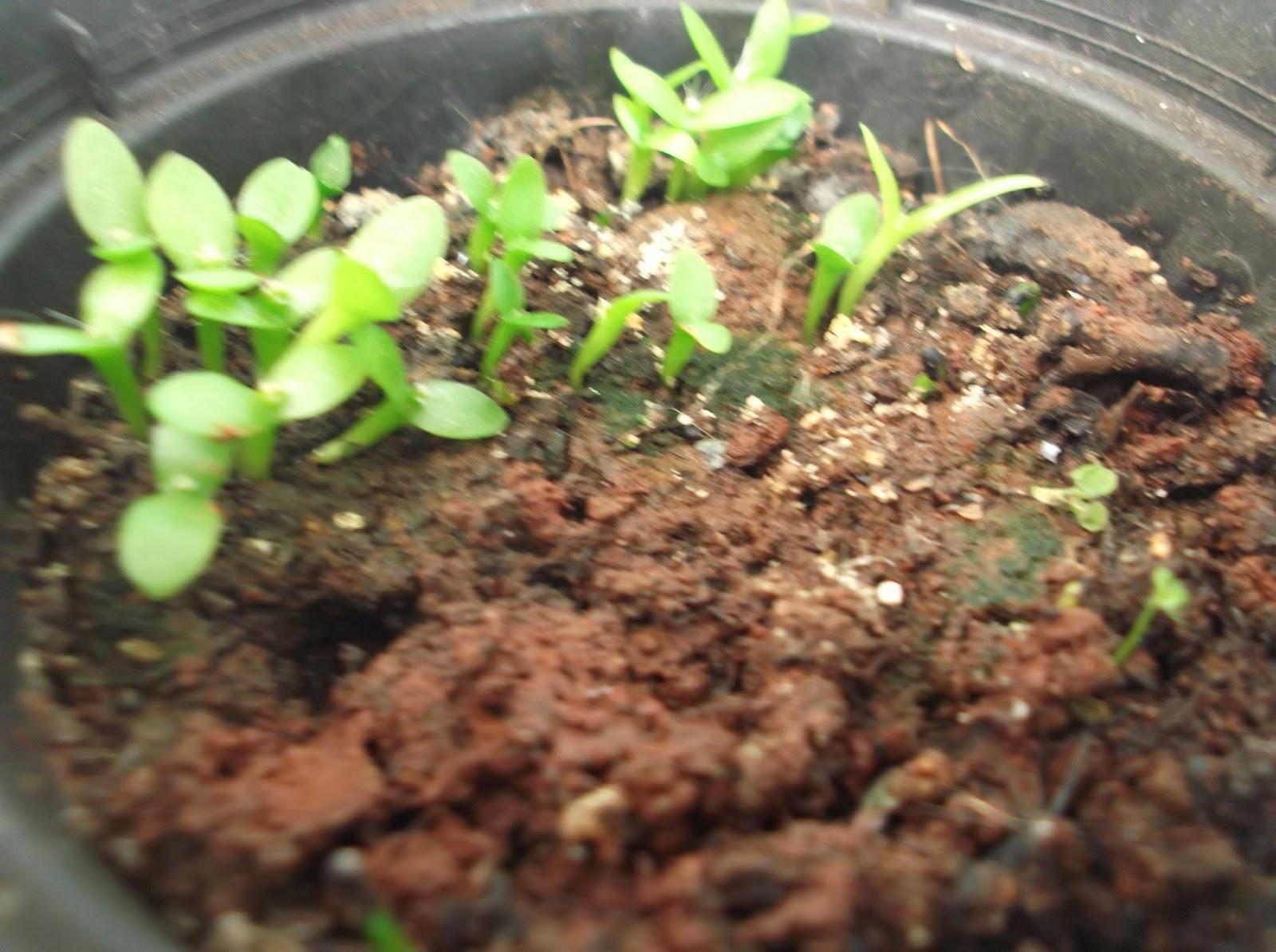 Pitaya Mudas Como Plantar