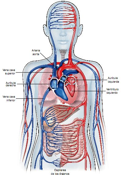 Circuito General : Mi clase de º a el sistema circulatorio