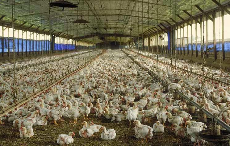 kandang ayam broiler menggunakan letter dari serbuk gergaji atau sekam