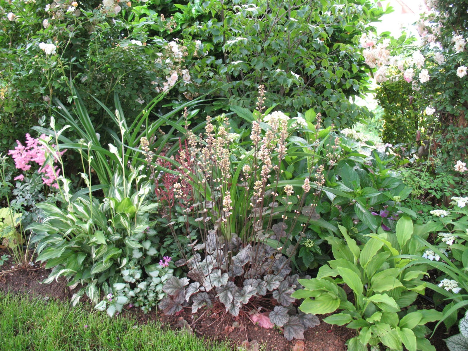 "Roses du jardin Chêneland: Heuchère Heuchera ""Silver Scrolls"""