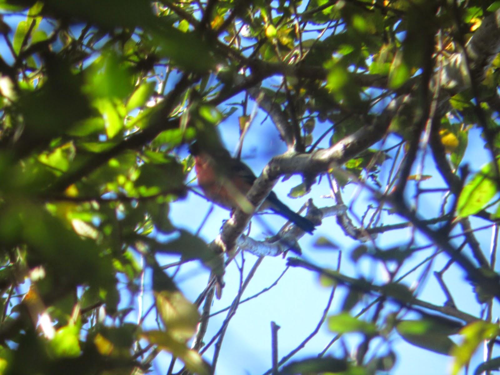 Ultimas especies añadidas a la Lista de Aves de Villadún-Penarronda durante 2.012, 2.013 y 2.014: