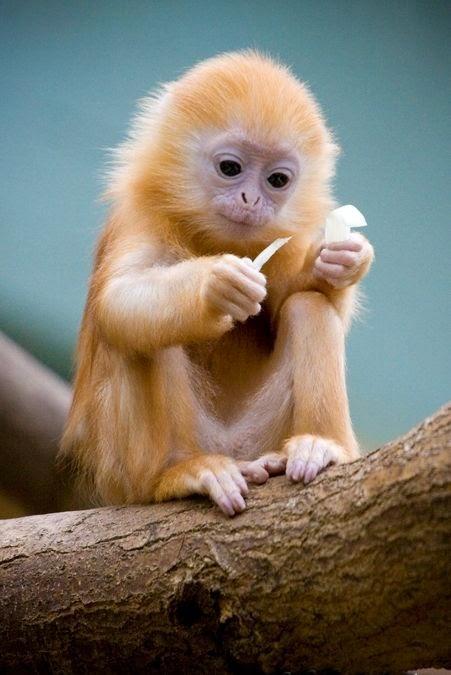Capuchin:♥