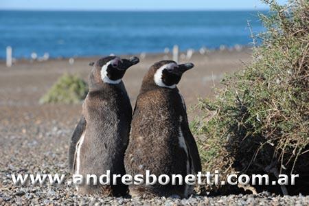 Pingüino de Magallanes - Magellanic Penguin - Pingüinera San Lorenzo Península Valdés - Patagonia - Andrés Bonetti