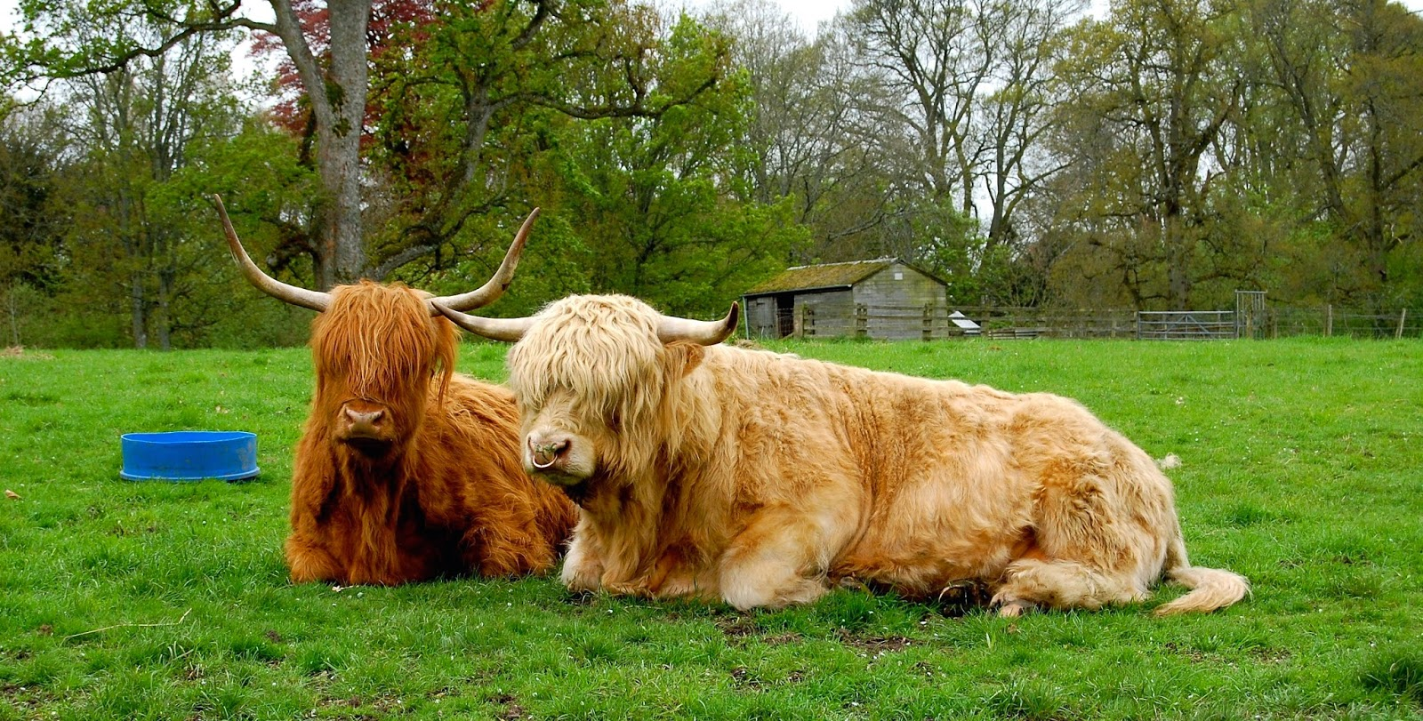 Scottish highland cattle; hairy coos