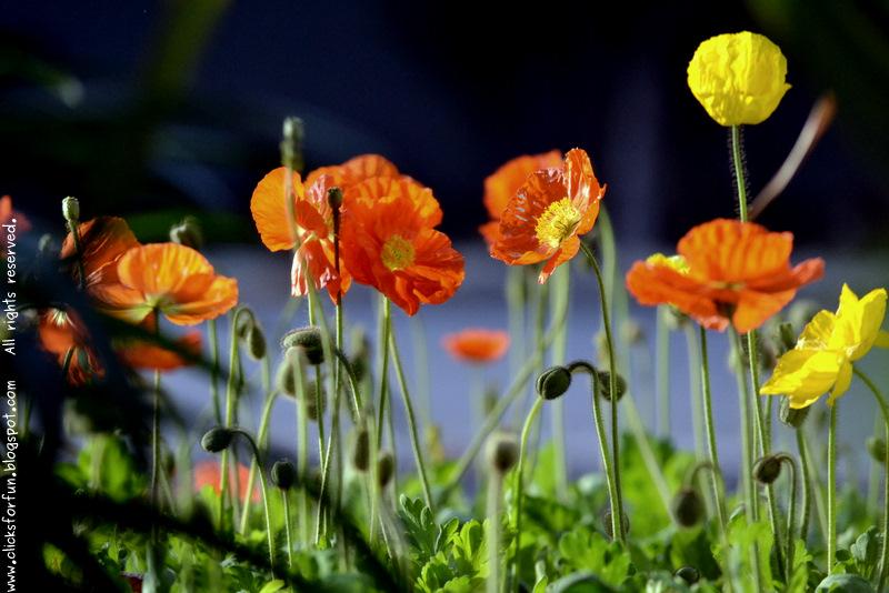 california poppy Eschscholzia californica orange yellow poppies roadside flowers california common nature photography photoblogging