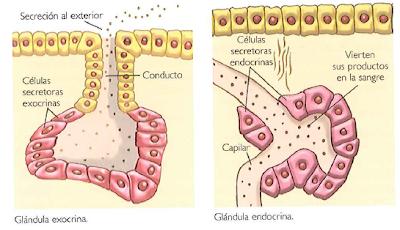 Dibujo explicando las glándulas endocrinas y exocrinas