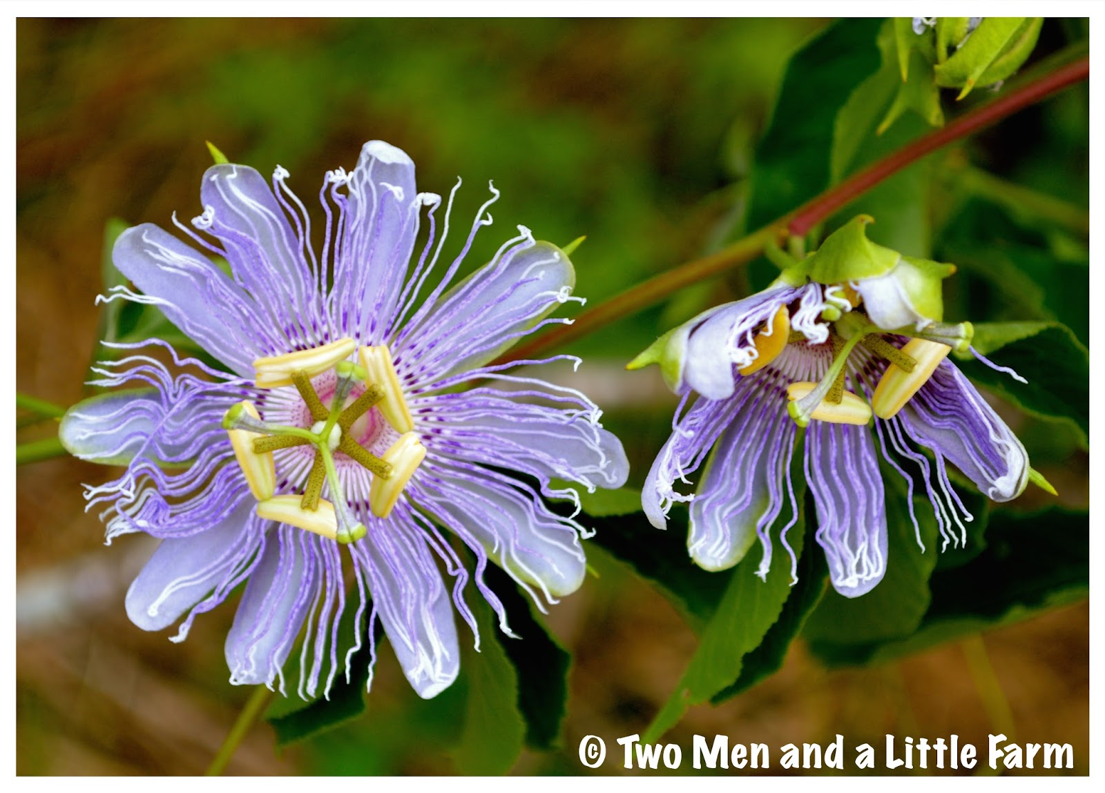 Two Men and a Little Farm PRETTY PURPLE PASSION FLOWERS