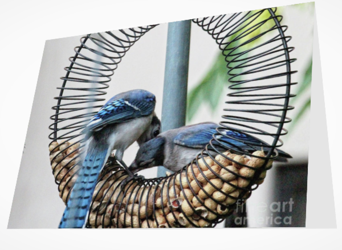 """BLUE JAYS WOOING 1"" (GREETING CARD OR PRINT)"
