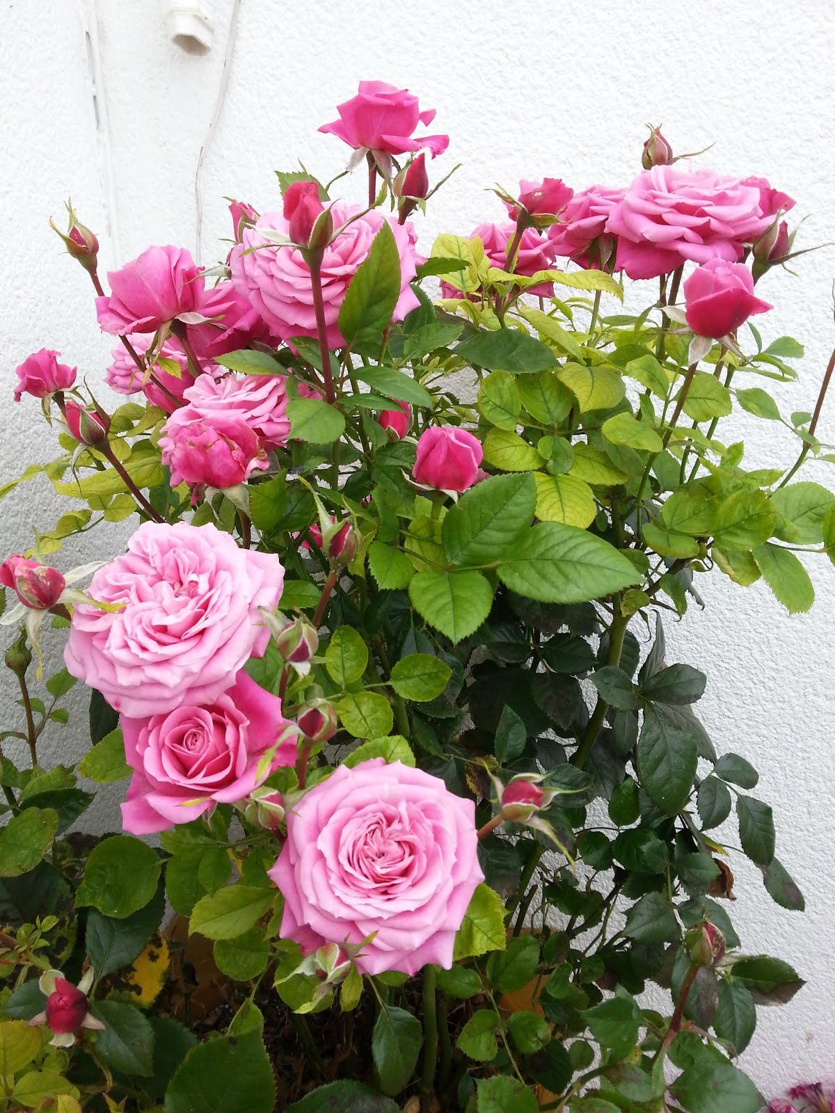 Este rosal es la alegría de mi terraza
