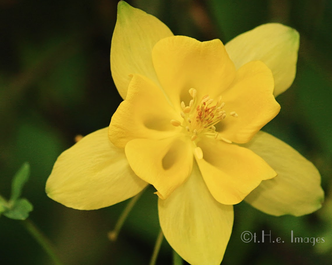 columbine blooming