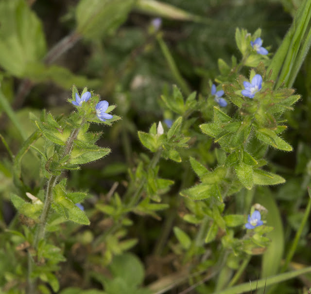 Wall Speedwell, Veronica arvensis.  Ranscombe Farm County Park, 25 May 2012.