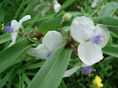 """Tradescantia"" or ""Spiderwort"""