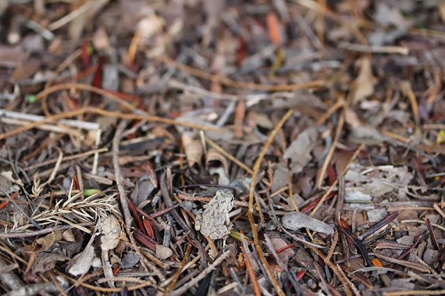 Find the Tiny Toad! #toad #nature #frog