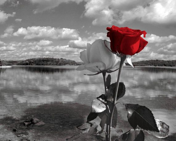Figure 1 beautiful flower white rose the call art red rose beautiful rose photography black colors splashes