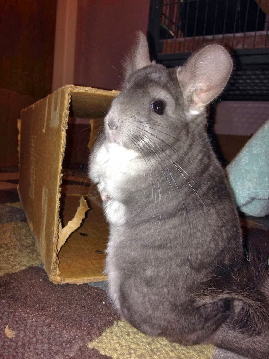 Funny animals of the week - 31 January 2014 (40 pics), cute chinchilla stands on back feet