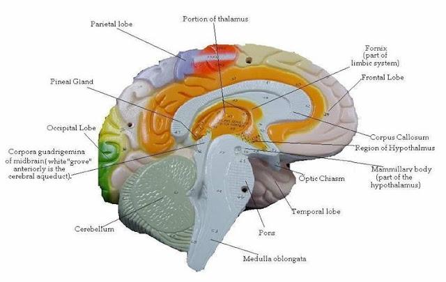 brain models for anatomy brain puzzles image Brain Computer Interface Diagram