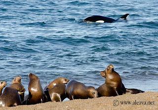 Orcas in Peninsula Valdes