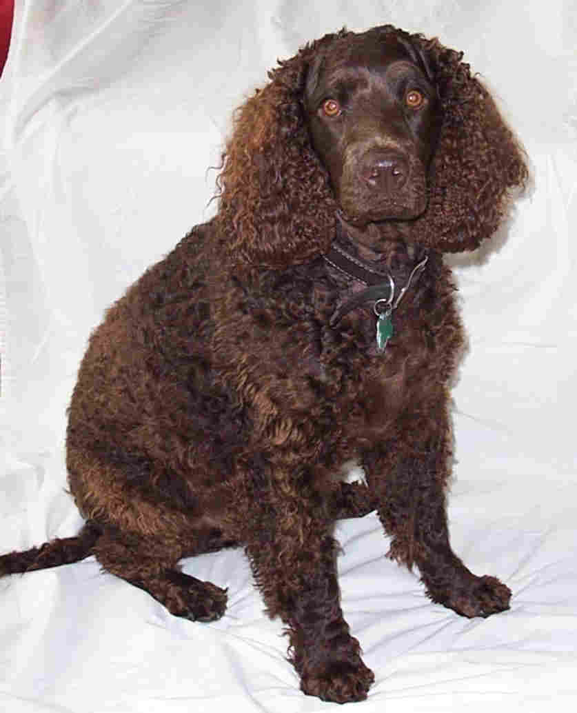 American Water Spaniel (AWS) Dog Breeders Profiles and ... American Water Spaniel Dogtime