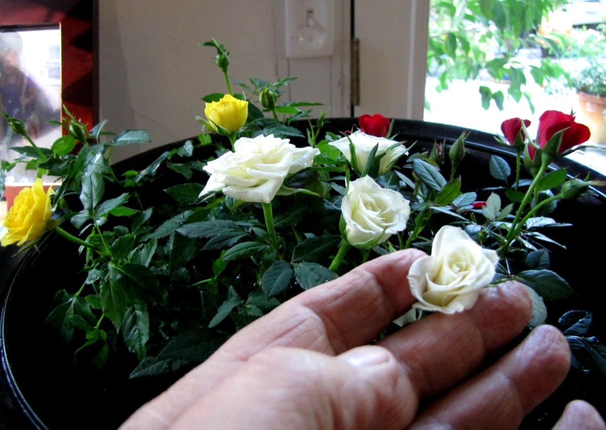 Tulsa Gentleman Macro Monday Little White Rose