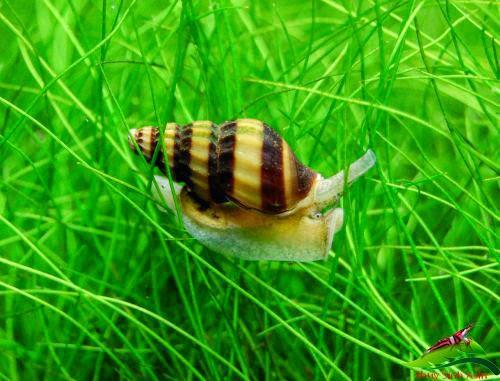 Ốc Helena - Ốc ăn ốc có thể di chuyển trên mọi địa hình