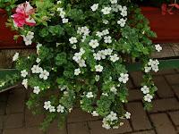 Sutera diffusus - Sutera rozpierzchła, bakopa drobnolistna pokrój