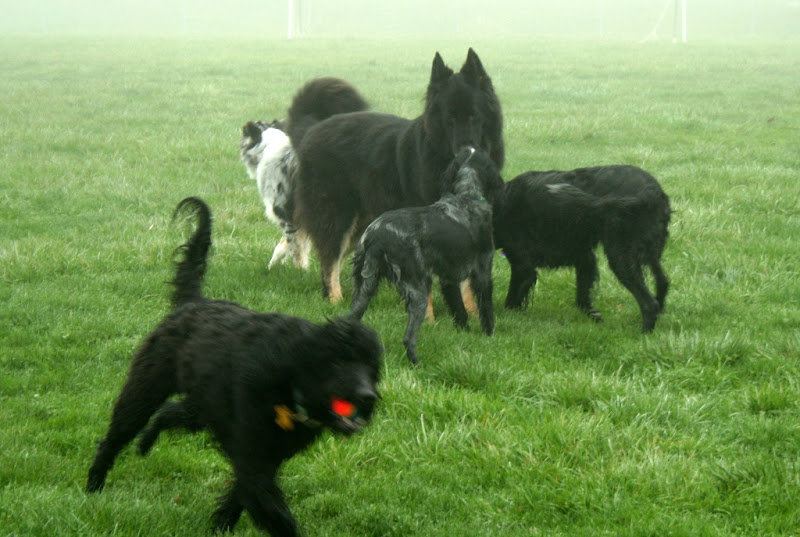 a group of 4 black dogs, but you can see the head of a blue merle australian sheepdog peeking out behind a huge black shepherd