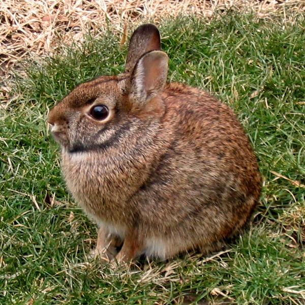 Conejo Silvestre de Páramo colombia animales salvajes