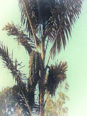Asal Mula Pohon Enau/Aren