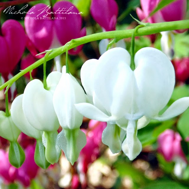 Bleeding Hearts in the Pixie Hill garden - Nichola Battilana