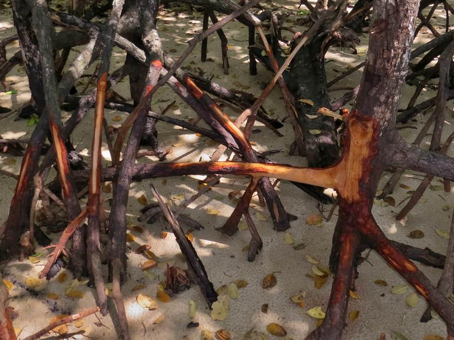 Storm damaged mangroves