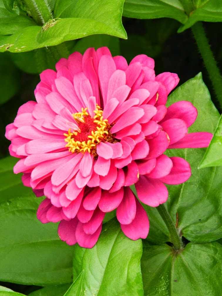 Pink zinnia James Gardens Etobicoke by garden muses-not another Toronto gardening blog
