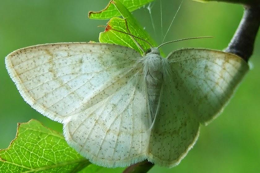 Schmetterlinge - Schmetterlingsfotos - Nachtfalter - Spanner - Braunstirn-Weißspanner