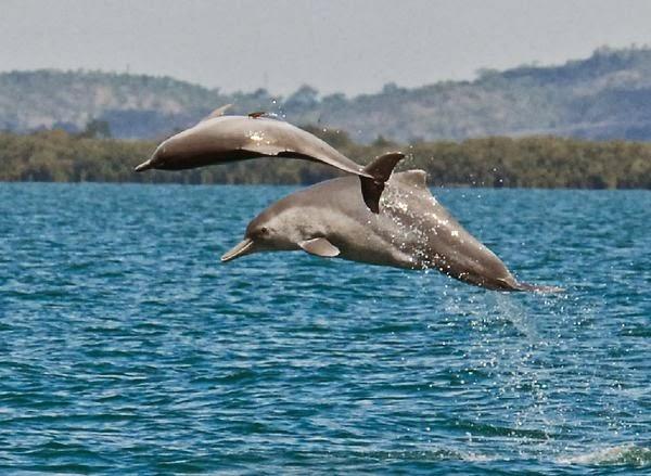 Os golfinhos-corcundas são chamados assim porque possuem uma corcova característica logo abaixo de sua barbatana dorsal, cuja forma alongada também é característica.