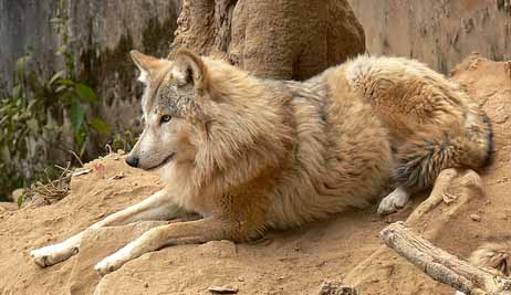 Save Wild Save YouLight Brown Female Wolf