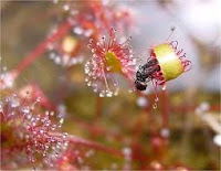 Drosera killing fly