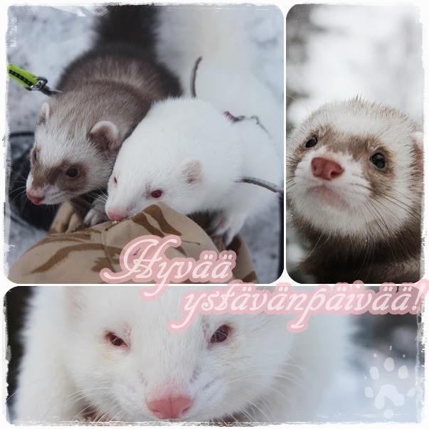 fretti+ystävänpäivä+ferret+friends