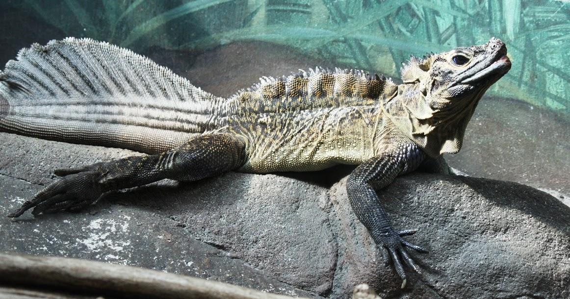 K Dragon Lizard Real Monstrosit...