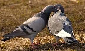 Foto Burung Merpati Jantan