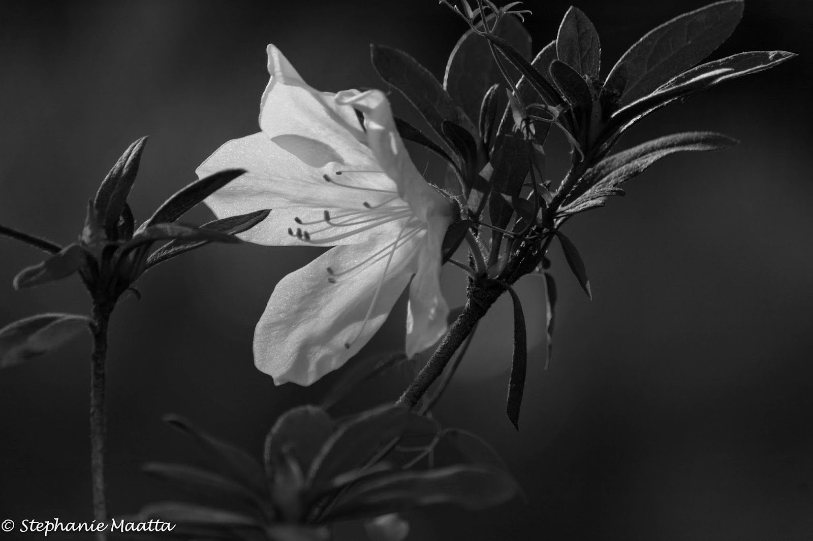 black and white image of azaleas in bloom