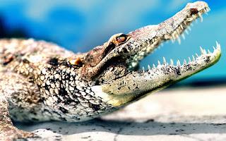 Alligator 2012
