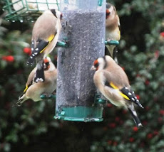 Four goldfinches on our feeder, Oct 12