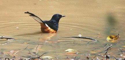 burung-murai-sedang-mandi