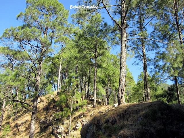 The Gum Trees in Mukteshwar