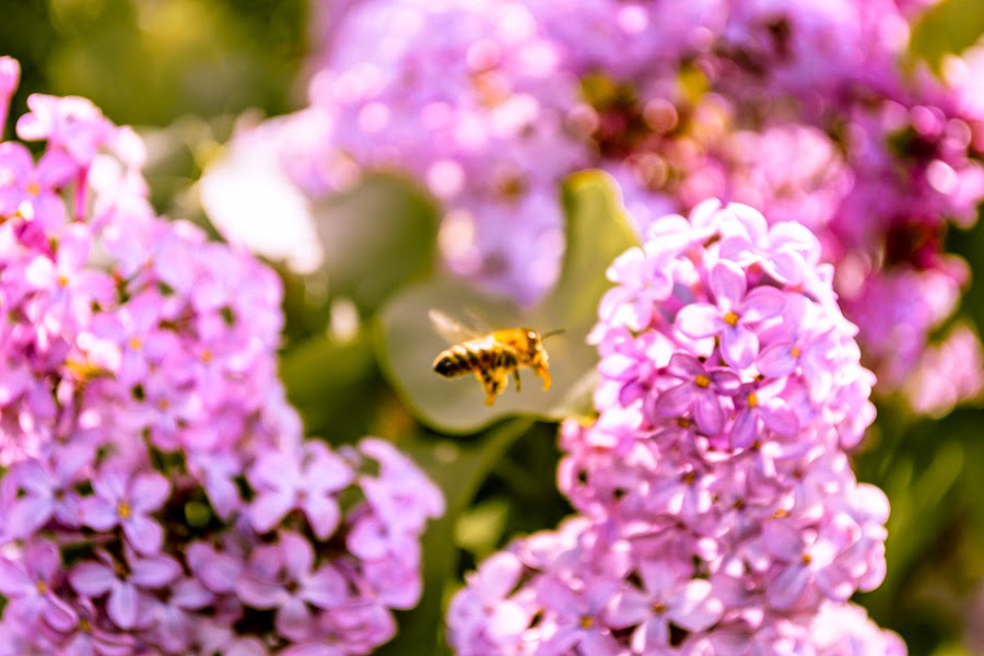 A bee flying around the Lilac flowers