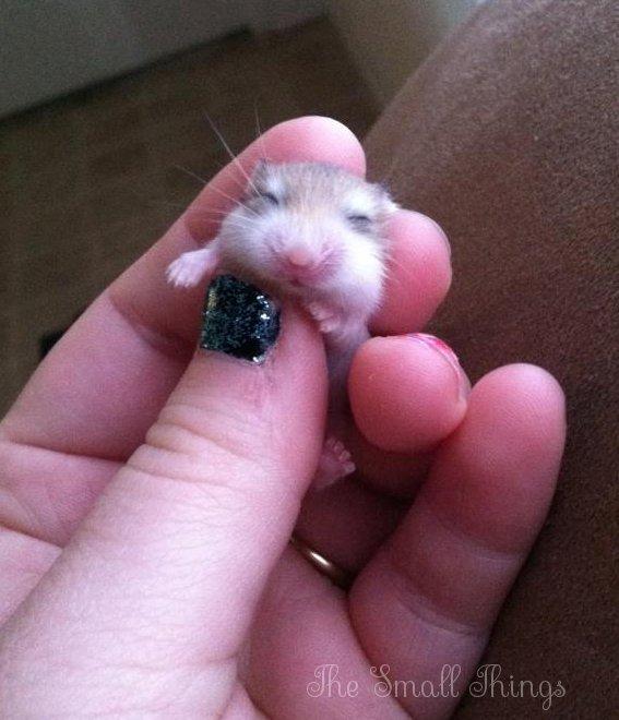 newborn dwarf hamster
