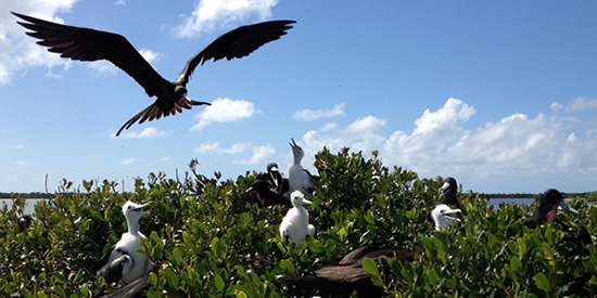 The frigate bird sanctuary, Barbuda