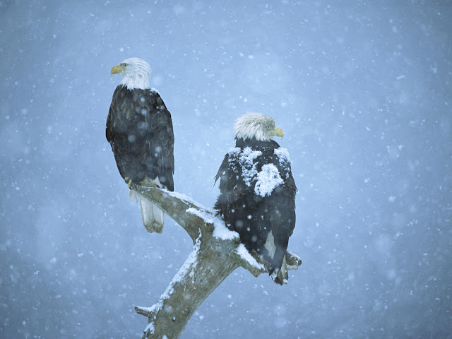 Eagle_wallpaper_hd_2