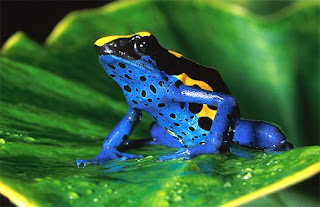 Poison Dart Frog Blue and Yellow